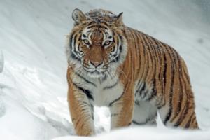 tigre-salvaje