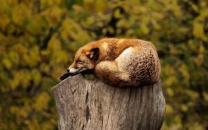 zorro-dormido